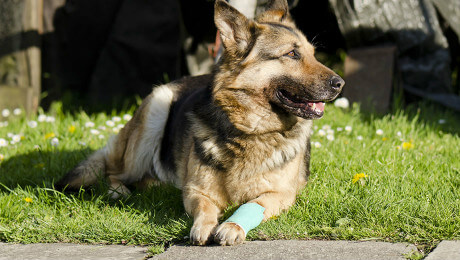 Alsatian with bandaged paw