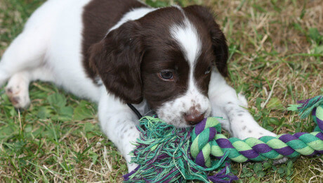 Puppy chewing rope