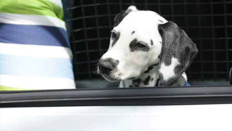 Dalmation sitting in carrier