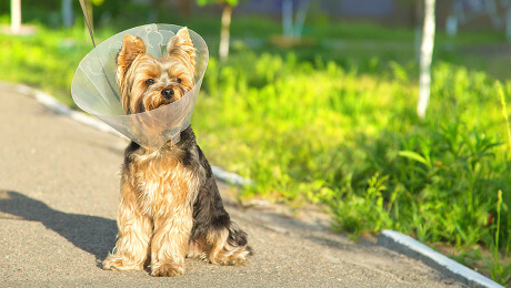 Sick Yorkshire terrier wearing a funnel collar