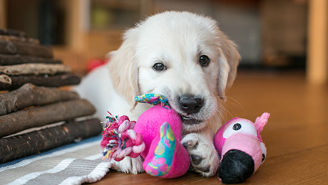Golden retriever puppy chewing toys