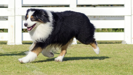 Black, white and tan longhaired dog running