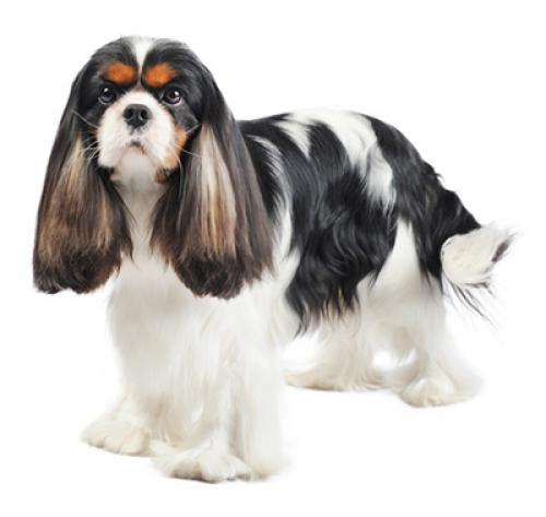 Cavalier kingcharlesinspanieli
