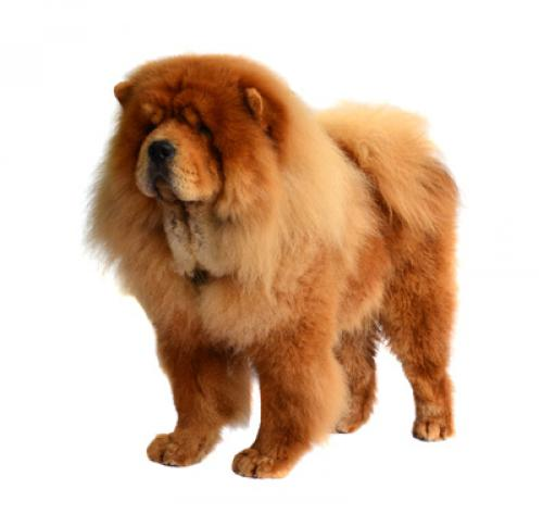 Chow chow (pitkäkarvainen)