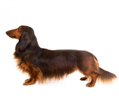 Dachshund (Long Haired)