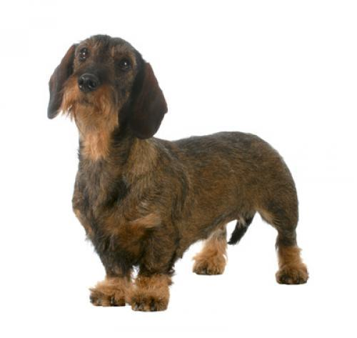 Dachshund (Miniature Wire Haired)