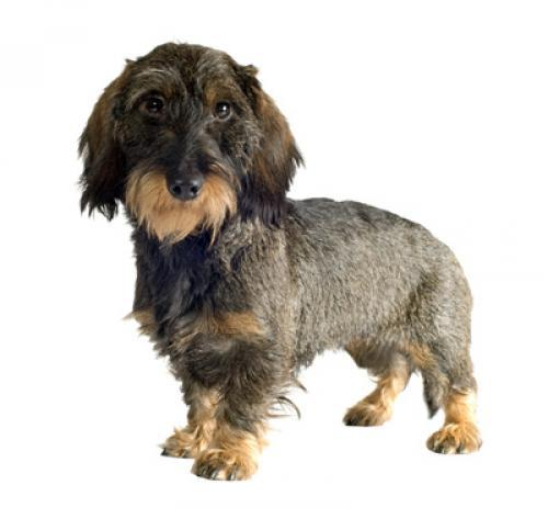 Dachshund (Wire Haired)