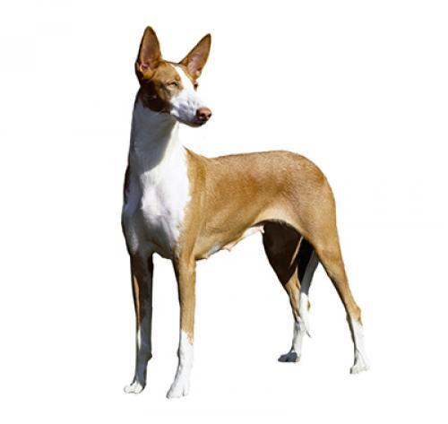 Ibizan Hound (Short/smooth coat)