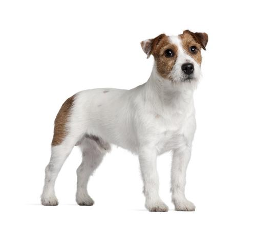 Parson Jack Russell Terrier (Short/smooth coat)